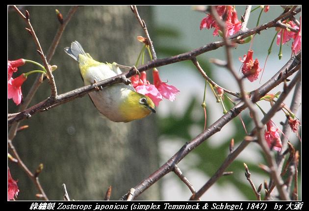 綠繡眼與山櫻花(2012-02-21)