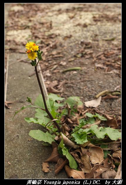 黃鵪菜 Youngia japonica  (L.) DC. subsp. japonica (L.) (DC. 1838)