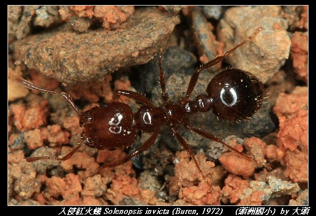 入侵紅火蟻 Solenopsis invicta (Buren, 1972)