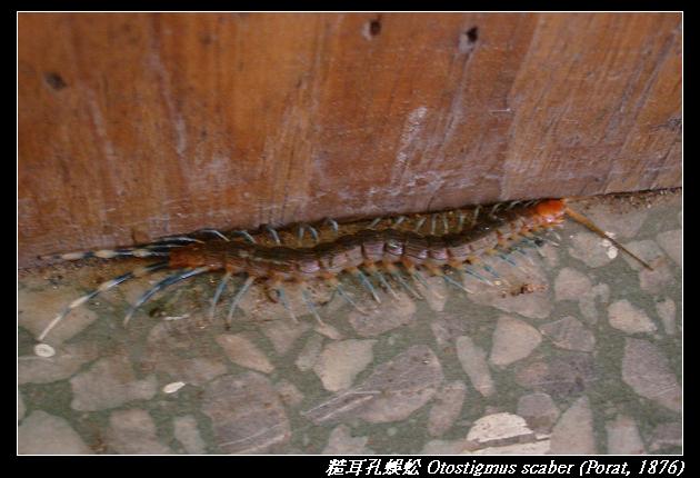 糙耳孔蜈蚣 Otostigmus scaber (Porat, 1876)