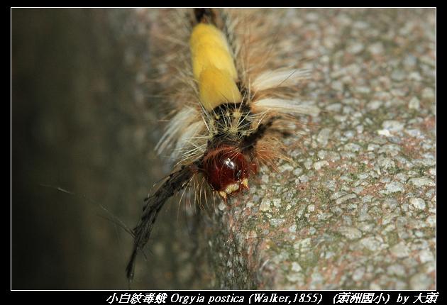 小白紋毒蛾 Orgyia postica (Walker,1855)