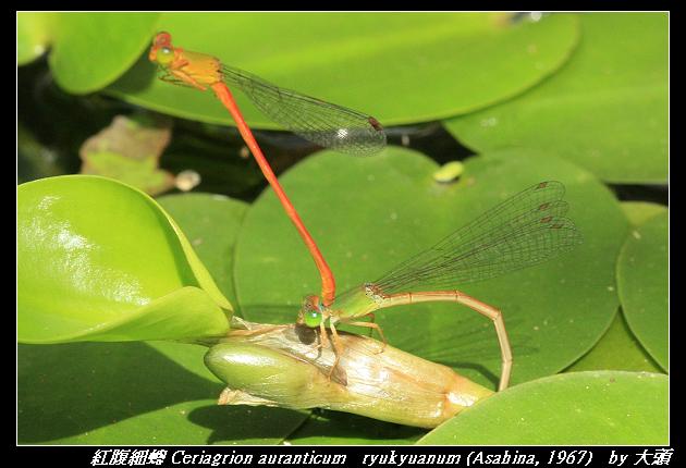紅腹細蟌 Ceriagrion auranticum   ryukyuanum (Asahina, 1967)