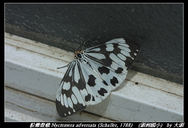 粉蝶燈蛾 Nyctemera adversata (Schaller, 1788)