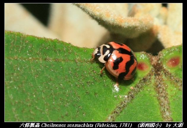 六條瓢蟲 Cheilmenes sexmachlata (Fabricius, 1781)