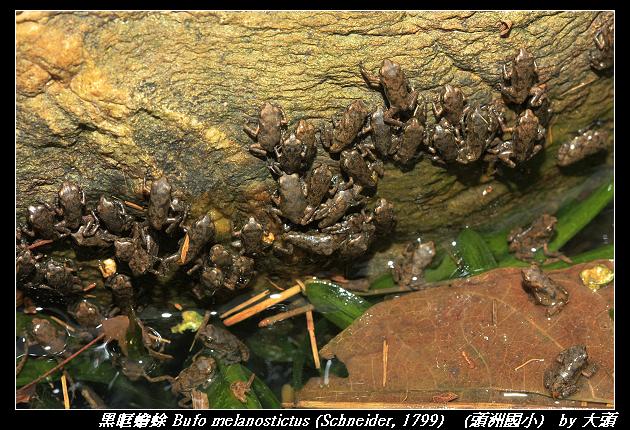 黑眶蟾蜍 Bufo melanostictus (Schneider, 1799)