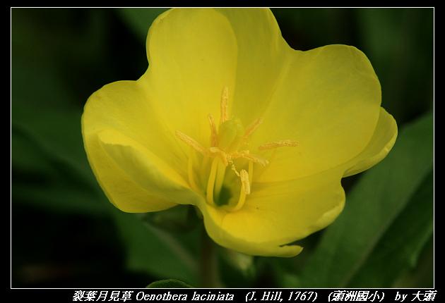 裂葉月見草 Oenothera laciniata   (J. Hill, 1767)
