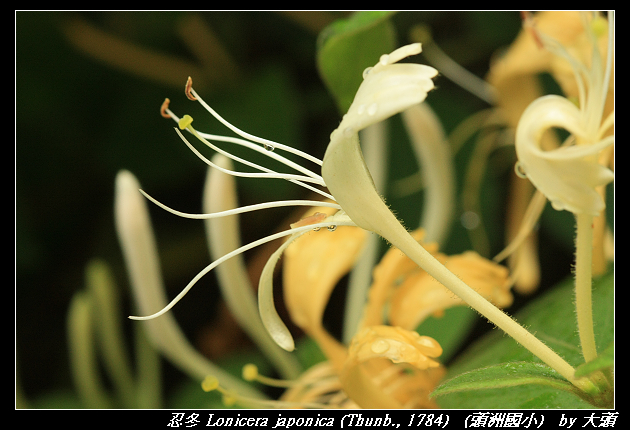 忍冬 Lonicera japonica (Thunb., 1784)