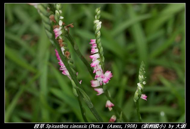 綬草 Spiranthes sinensis (Pers.)   (Ames, 1908)