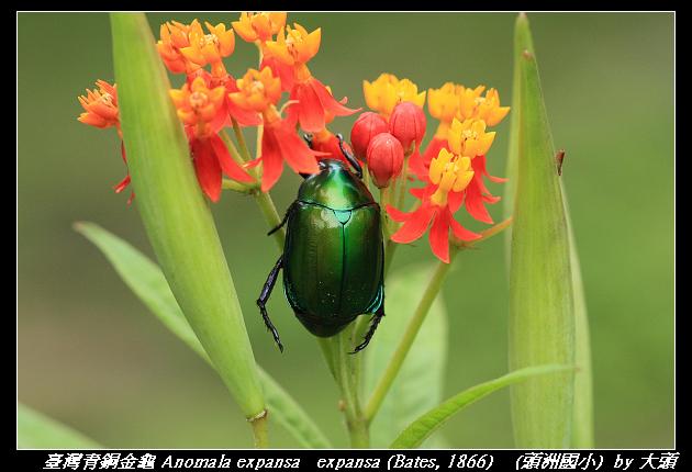 臺灣青銅金龜 Anomala expansa   expansa (Bates, 1866)