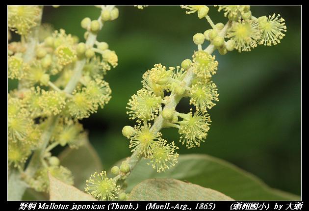 野桐 Mallotus japonicus (Thunb.)   (Muell.-Arg., 1865)
