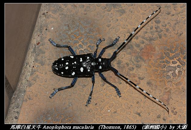 馬庫白星天牛 Anoplophora macularia   (Thomson, 1865)
