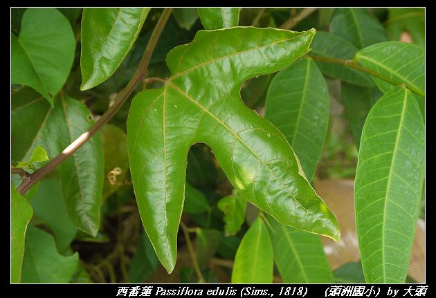 西番蓮 Passiflora edulis (Sims., 1818)