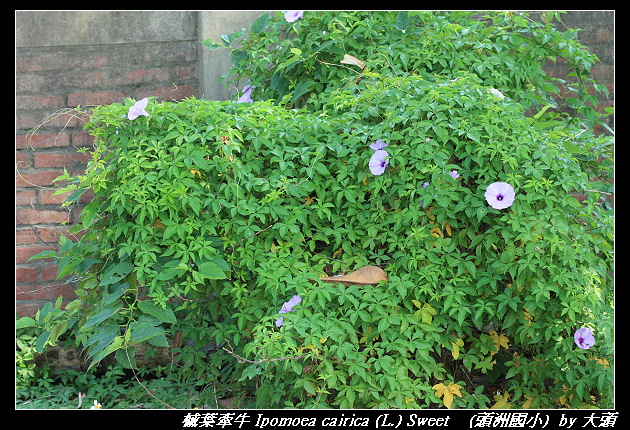 槭葉牽牛 Ipomoea cairica (L.) Sweet