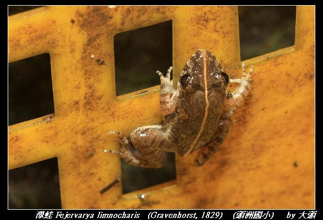 澤蛙 Fejervarya limnocharis   (Gravenhorst, 1829)