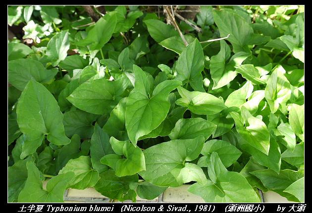 土半夏 Typhonium blumei (Nicolson & Sivad., 1981)