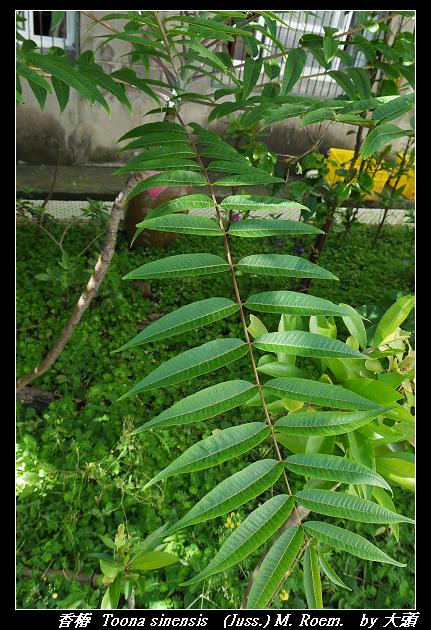 香椿  Toona sinensis   (Juss.) M. Roem.