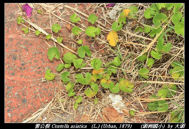 雷公根 Centella asiatica   (L.) (Urban, 1879)