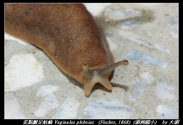 花點皺足蛞蝓 Vaginulus plebeius   (Fischer, 1868)