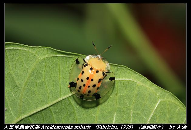大黑星龜金花蟲 Aspidomorpha miliaris (Fabricius, 1775)
