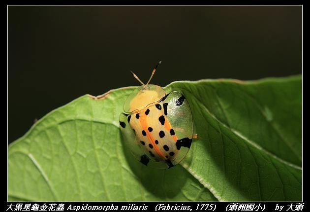 Aspidomorpha miliaris   (Fabricius, 1775)