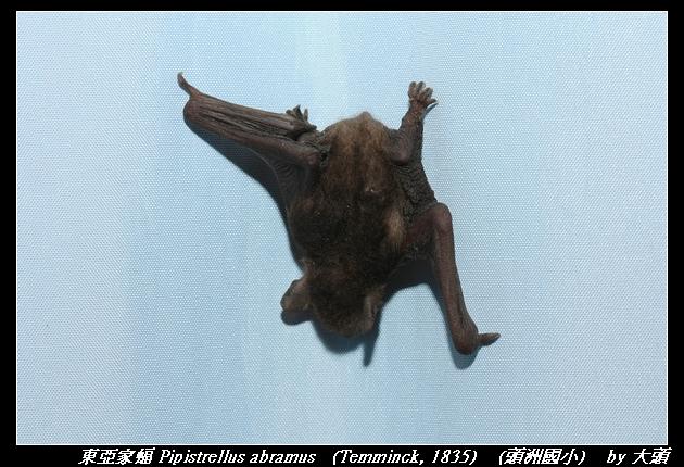 東亞家蝠 Pipistrellus abramus   (Temminck, 1835)