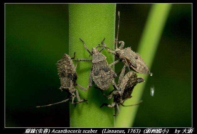 瘤緣蝽 Acanthocoris scaber   (Linnaeus, 1763)
