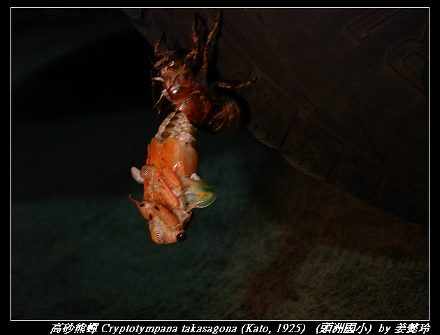 高砂熊蟬 Cryptotympana takasagona (Kato, 1925)