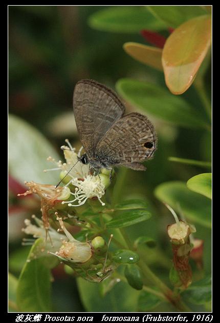 波灰蝶 Prosotas nora   formosana (Fruhstorfer, 1916)