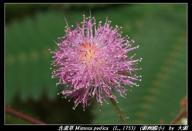 含羞草 Mimosa pudica   (L., 1753)