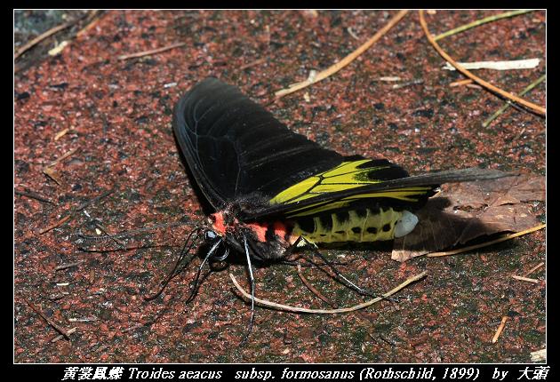 黃裳鳳蝶 Troides aeacus   subsp. formosanus (Rothschild, 1899)
