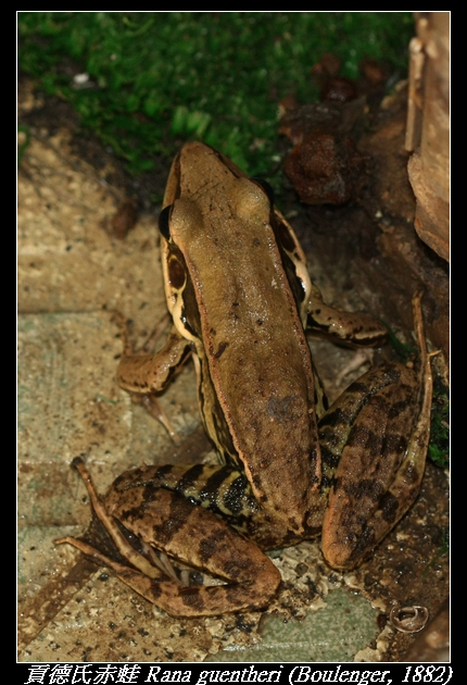 貢德氏赤蛙 Rana guentheri (Boulenger, 1882)
