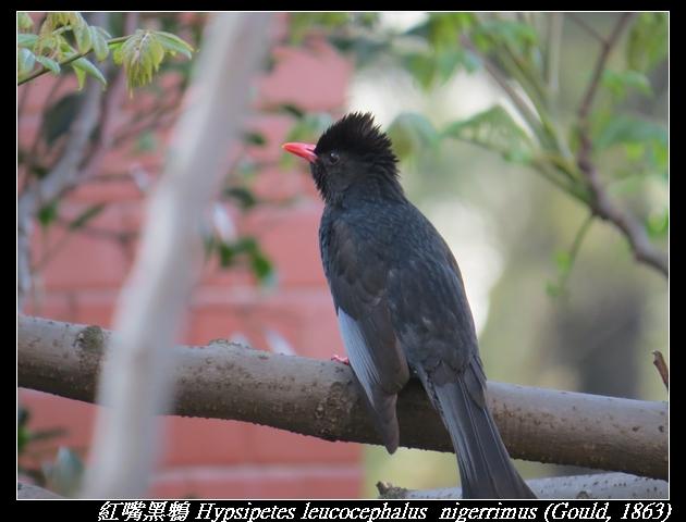 紅嘴黑鵯 Hypsipetes leucocephalus  nigerrimus (Gould, 1863)