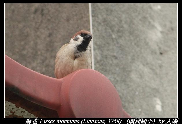 麻雀 Passer montanus (Linnaeus, 1758)