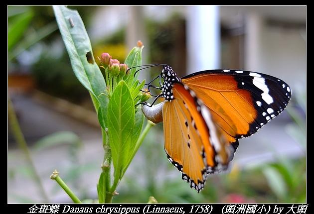 金斑蝶 Danaus chrysippus (Linnaeus, 1758)