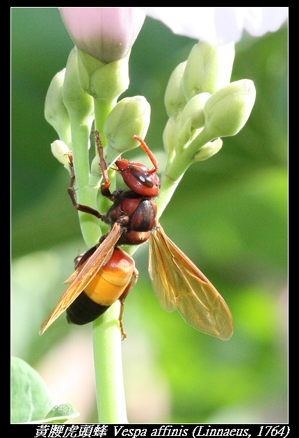 黃腰虎頭蜂 Vespa affinis (Linnaeus, 1764)