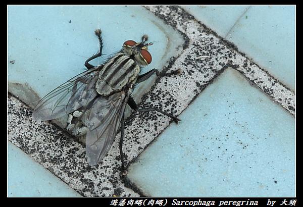 遊蕩肉蠅(肉蠅) Sarcophaga peregrina (Robineau-Desvoidy, 1830)