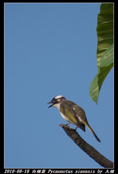 白頭翁 Pycnonotus sinensis