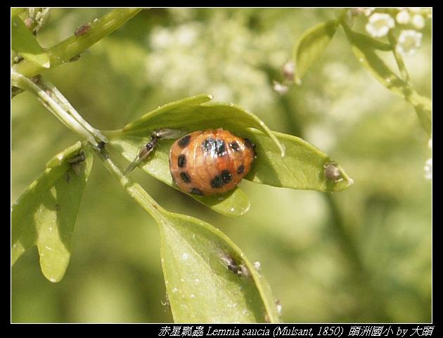 赤星瓢蟲蛹