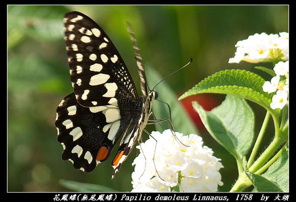 花鳳蝶(無尾鳳蝶) Papilio demoleus Linnaeus, 1758