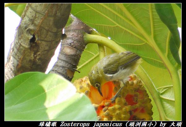 綠繡眼 Zosterops japonicus