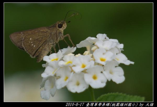 2010-08-17 臺灣單帶弄蝶