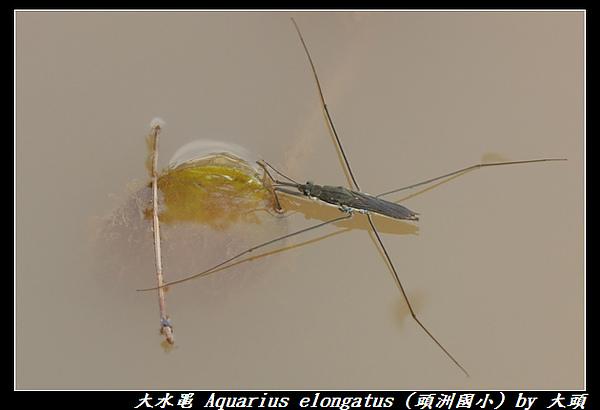 大水黽 Aquarius elongatus