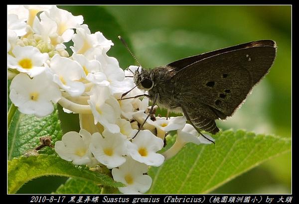 2010-08-17 黑星弄蝶