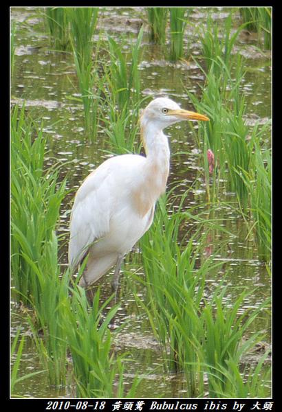 黃頭鷺 Bubulcus ibis