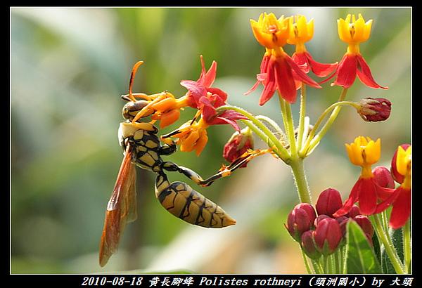 黃長腳蜂 Polistes rothneyi
