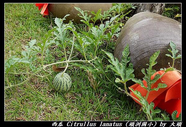西瓜 Citrullus lanatus