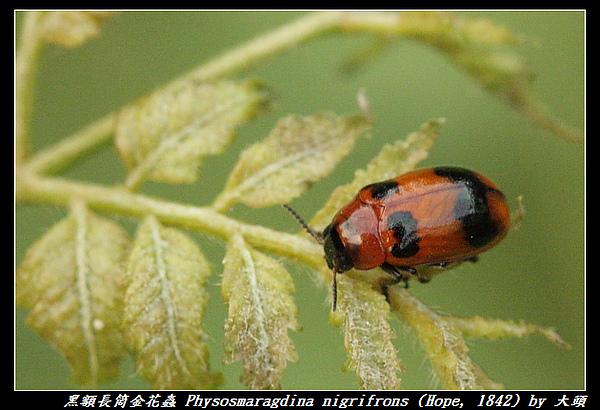 黑額長筒金花蟲 Physosmaragdina nigrifrons (Hope, 1842)