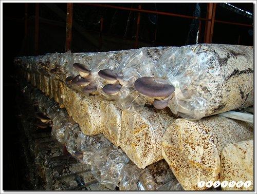 20090825-豐年菇類生態農場~08.jpg