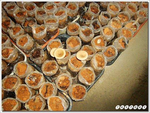 20090825-豐年菇類生態農場~09.jpg