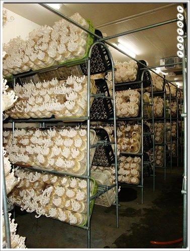 20090825-豐年菇類生態農場~11.jpg